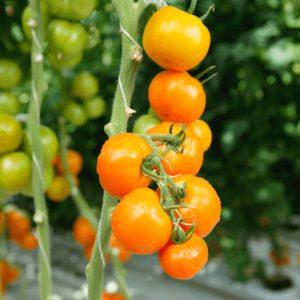 pr-agro-foton-f1-tomat-gavrish