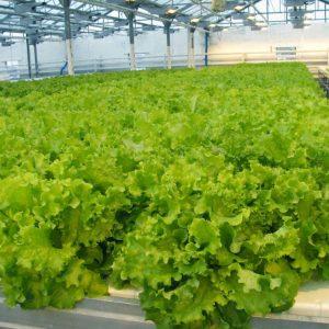 pr-agro-gejzer-f1-salat-gavrish