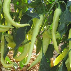 pr-agro-gomera-f1-perecz-enza-zaden