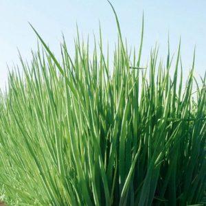 pr-agro-gulden-f1-luk-na-zelen-gavrish