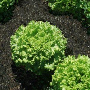 pr-agro-hrizolit-f1-salat-gavrish