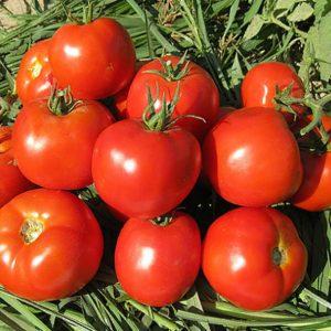 pr-agro-behram-f1-tomat-enza-zaden
