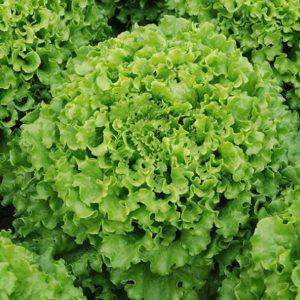 pr-agro-kajpira-f1-salat-listovoj-enza-zaden