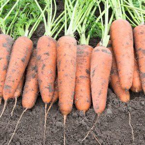 pr-agro-kanterbyuri-f1-morkov-bejo