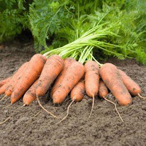 pr-agro-karini-f1-morkov-bejo