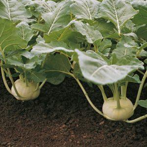 pr-agro-korist-f1-kolrabi-bejo