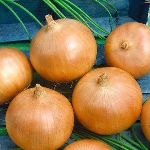 pr-agro-kremen-f1-luk-gavrish