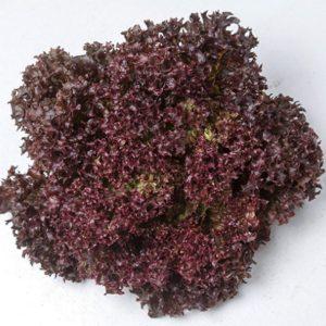 pr-agro-lea-f1-salat-lollo-rossa-enza-zaden