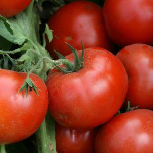 pr-agro-lodzhejn-f1-tomat-enza-zaden
