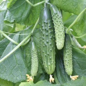 pr-agro-magnit-f1-ogurecz-gavrish