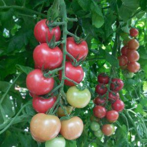 pr-agro-malibu-f1-tomat-gavrish