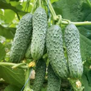 pr-agro-mamlyuk-f1-ogurecz-gavrish