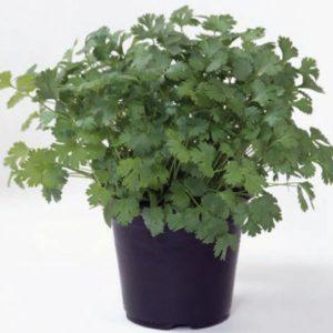 pr-agro-marino-f1-koriandr-enza-zaden