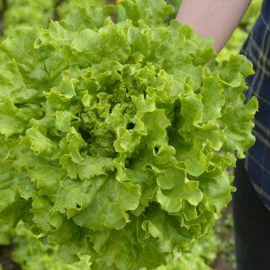 pr-agro-mirtel-f1-salat-listovoj-bejo