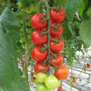 pr-agro-mops-f1-tomat-gavrish