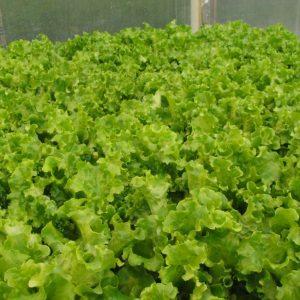 pr-agro-orfej-f1-salat-gavrish