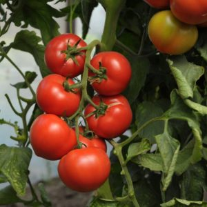 pr-agro-pantera-f1-tomat-gavrish