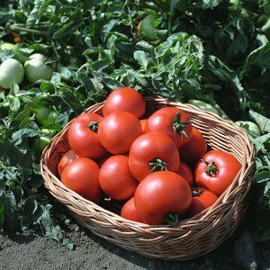 pr-agro-polbig-f1-tomat-bejo