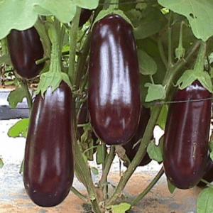 pr-agro-roma-f1-baklazhan-sakata