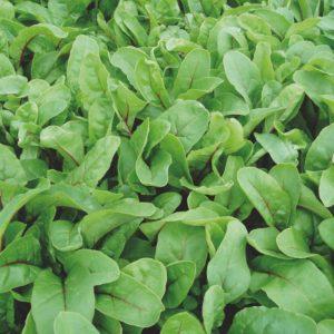 pr-agro-rubinoa-f1-mangold-enza-zaden