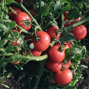 pr-agro-sultan-f1-tomat-bejo