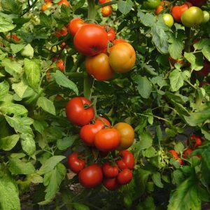 pr-agro-tobolsk-f1-tomat-bejo