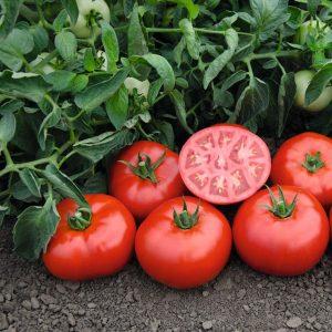 pr-agro-tomsk-f1-tomat-bejo
