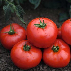 pr-agro-tonopa-f1-tomat-bejo