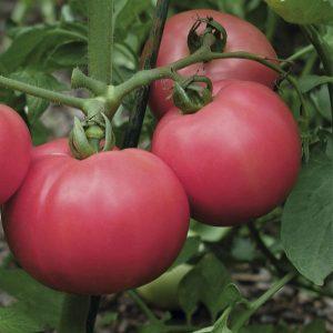 pr-agro-torbej-f1-tomat-bejo