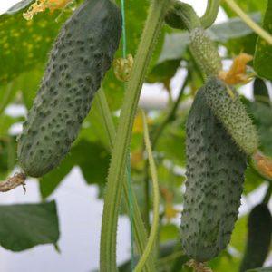 pr-agro-tumi-f1-ogurecz-enza-zaden