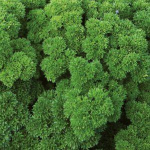 pr-agro-vega-f1-petrushka-enza-zaden