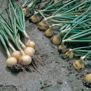 pr-agro-vift-f1-luk-bejo