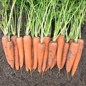 pr-agro-vita-longa-f1-morkov-bejo