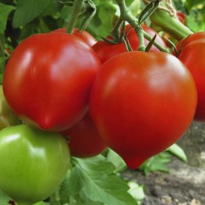 pr-agro-doroti-f1-tomat-grinomika