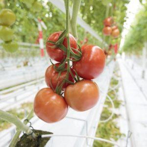 pr-agro-endever-f1-tomat-rajk-czvaan