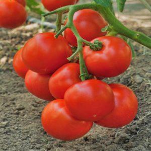 pr-agro-intriga-f1-tomat-grinomika