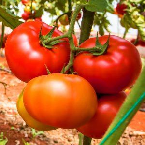 pr-agro-kvinta-f1-tomat-grinomika