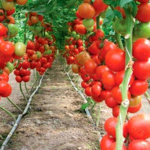 pr-agro-lilos-f1-tomat-rajk-czvaan