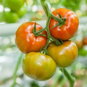 pr-agro-tajmyr-f1-tomat-rajk-czvaan