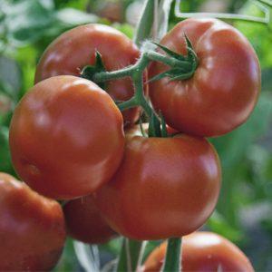 pr-agro-zorro-f1-tomat-grinomika