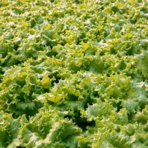 pr-agro-aficzion-r3-f1-salat-rajk-czvaan