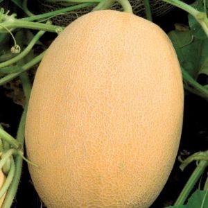 pr-agro-bidzhour-f1-dynya-vilmorin