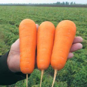 pr-agro-bolivar-f1-morkov-vilmorin