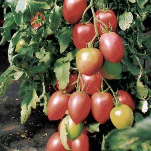 pr-agro-bonapart-f1-tomat-vilmorin