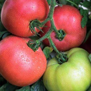pr-agro-donatello-f1-tomat-vilmorin