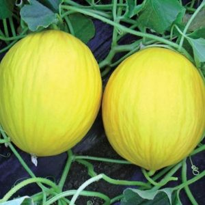 pr-agro-forban-f1-dynya-vilmorin
