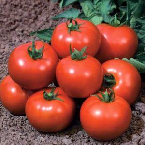 pr-agro-impala-f1-tomat-vilmorin