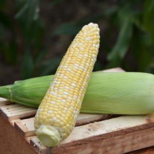 pr-agro-kamberlend-f1-kukuruza-vilmorin