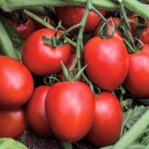 pr-agro-kaporal-f1-tomat-vilmorin