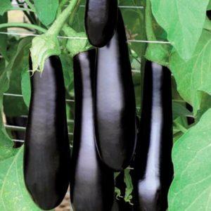 pr-agro-karataya-f1-baklazhan-vilmorin